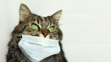 Photo of Stopfake жауабы: Жануарлар коронавируспен ауыруы мүмкін